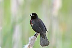 Red-winged Blackbird (Alan Gutsell) Tags: bird blackbird redwinged redwingedblackbird texasbirds georgebushpark birdsoftexas alangutsell