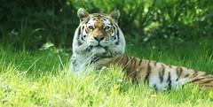 Amur Tiger (Annette Rumbelow) Tags: park camera sony tiger safari wilson endangered siberian wiltshire longleat siberiantiger annette bigcats carnivore amur rumbelow