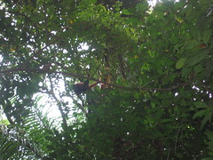 Monkeys in the Canopy