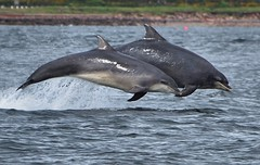 Mother & Calf Breaching (richbriggs28. Love being a grandad :)) Tags: richbriggs28 dolphin bottlenosedolphin blackisle inverness morayfirth rosemarkie breaching