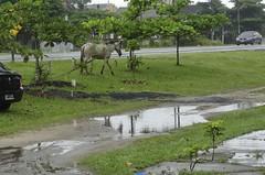 Confuso 02 (Parchen) Tags: foto chuva estrada caos cavalos rua fotografia animais cavalo trnsito imagem confuso baguna molhado chuvoso registro veculo chuvarada parchen carlosparchen animaissoltosnarua