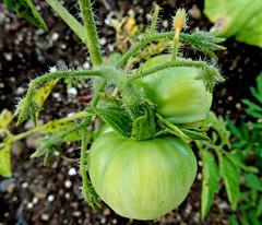 Green Joy 7/16/16 (dianecordell) Tags: summer plants sun leaves garden tomato july growing queensburyny