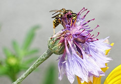 Angry Looking Wasp (kendoman26) Tags: flower macro closeup fuji yellowjacket cornflower fujifinepix paperwasp fujifinepixs1