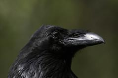 Eye of the Raven (martytdx) Tags: sanfrancisco goldengatepark ca birds adult birding july raven corvid corvuscorax corvus corvidae commonraven trophyshot goldengateparknorthpond