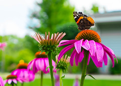 Butterfly Pt. 3 - Flowers In Row (Jordan David Photography) Tags: pink flower macro nature butterfly garden insect cone coneflower multicolor