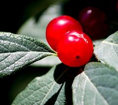 Berries (Pauline Brock) Tags: berries redberries birdfood red green redandgreen opposites macromondays nature foliage bright