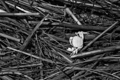 Fiddled Out (brucetopher) Tags: blackandwhite bw white black monochrome fauna blackwhite seaside bleach crab dry marsh hay crustacean bleached seacreature fiddlercrab driedout saltmarshhay
