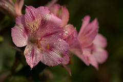 Summer rain (Irina1010) Tags: alstroemeria peruvianlilies flowers macro droplets rain summer nature beautiful canon pink ngc npc