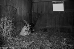 Lonely Goat (breakfast_pizzas) Tags: lonely goat lonelygoat farm animal farmanimal farmanimals black white blackandwhite straw hay horns barn low light lowlight canon canon60d canonphotography virginia northernvirginia usa
