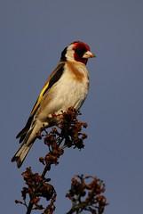 chardonneret lgant 2 (poun'ish) Tags: oiseau chardonneret lgant bird nature