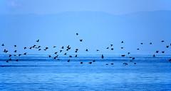 Vol de cormoran (Diegojack) Tags: nikon vol ouchy oiseaux cormorans escadrille embouchure denantou nikonpassion vuachre animalires d7200