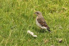 Northern Wheatear - Oenanthe oenanthe (Roger Wasley) Tags: northern wheatear oenantheoenanthe wansfellpike ambleside lakedistrict cumbria macro birds british britain