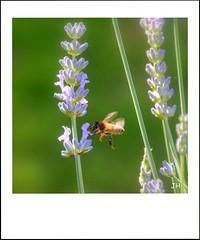 Lavande (2) (au35) Tags: flower macro fleur nikon lavande abeille insecte macrophotographie d5000