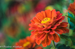 orange inception of Summer (frederic.gombert) Tags: orange flower flowers green light sun summer spring color colors colorful plant macro macrodreams nikon d810 greatphotographers