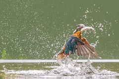 Kingfisher (John Ambler) Tags: male kingfisher fish stickleback stickle back john ambler johnambler wilflife photographer photographs photos orange blue water ngc