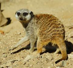 DID YOU SAY SOMETHING?  MEERKAT (Gary Post) Tags: did you say something meerkat
