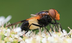 Fly - Volucella inflata -Clattinger farm WT reserve Wilts 260616 (1) (ailognom2005-Catching up slowly.) Tags: fly volucellainflata clattingerfarmwtreserve wiltshire macro reserve naturereserves