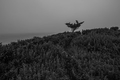 Looking Out To Sea (Bud in Wells, Maine) Tags: kennebunkport maine coastal atlantic newengland bw monochrome tree fog