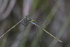 Emerald Damselfy (Chris B@rlow) Tags: lestessponsa emeralddamselfly damselfly dragonfly cumbria scalebymoss macro nature wildlife canon