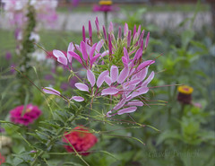 Cleome, The Spider Flower (glenda.suebee) Tags: cleome spider flower summer 2016 ohio glendaborchelt nancys fancies