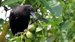 Peeling the Walnut's Husk (gps1941) Tags: animal bird crow walnuss tier vogel krhe rabe