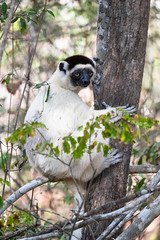 Verreaux's Sifaka, Kirindy Forest - Madagascar 2014