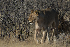 African lion (Niels Onderwater - Automotive Photography) Tags: rood