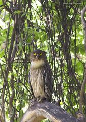 Brown Fish Owl (Abhijit Joshi) Tags: owl brownfishowl ketupazeylonensis bubozeylonensis