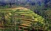 Terraced rice fields in Bali , Indonesia (singingdaisy) Tags: bali indonesia autofocus terracericefields photographyforrecreation
