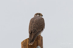 Prairie Falcon keeps close watch on its surroundings