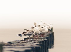 Steven the Seagull (Michael Nukular) Tags: