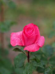 Rose, Dady, バラ, ダディ, (T.Kiya) Tags: rose dady バラ 花フェスタ記念公園 ダディ flowerfestivalcommemorativepark