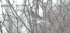 Harris's Sparrow (6403) (fbc57) Tags: birds vermont sparrows bridport emberizidae harrisssparrow zonotrichiaquerula nikond800 tamron150600spvc