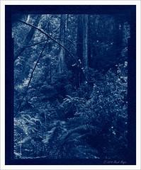 (Mark Magin) Tags: california muirwoods 4x5 hp5 redwoods cyanotype shenhao watercolorpaper darkroomprint saunderswaterfordpad