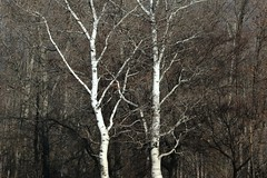 winter-white-bark (JeremyOK) Tags: trees winter bc okanagan birch summerland sunoka
