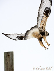 Christine Eckel - sharp-shinned hawk