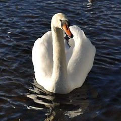 3/365 teith swan (werewegian) Tags: white bird scotland swan day3 callander teith jan15 day3365 werewegian 365the2015edition 3652015 3jan15