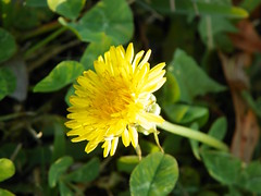 3-13-15 382 (LeeLee's pictures) Tags: 31315 mississippiriver woods nature dandelions yellow flower wildflower weeds makeawish white flyaway