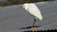 Snow on the roof (Shannon Rose O'Shea) Tags: roof white bird nature yellow orlando florida wildlife waterfowl gatorland yellowfeet birdyfeet canoneos7d shannonroseoshea