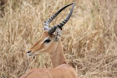 Gazelle Close-up