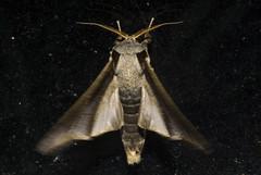 Colax apulus (Notodontidae, Heterocampinae) 5 (Enio Branco) Tags: macro nature rainforest sony natureza insects bugs lepidoptera moths mariposas biodiversity insetos macrophotography mataatlntica biodiversidade tapira sonyalpha natureplus votorantim dslra550 eniobranco