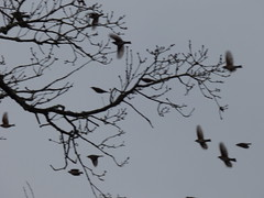 P1610984c WindBlown ! !! ! !  . . . . Flight of the Fieldfares . ! (Erniebobble) Tags: above trees winter wallpaper portrait sky abstract black blur art nature field weather birds silhouette contrast garden dark painting season grey flying wings movement focus soft european wildlife branches flock flight continental windy overcast stormy foliage bbc animation unusual suspended twigs overhead dull climate newforest tails flurry avian gentle windblown muted unseen feathered composed beaks branching twitcher subdued behaviour 2015 wildlifegarden unsprung chrispackham winterwatch fieldfares wintermigration erniebobble