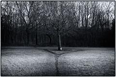 Gabelung (duesentrieb) Tags: blackandwhite bw plant tree germany landscape deutschland pflanze brunswick sw schwarzweiss landschaft baum braunschweig niedersachsen lowersaxony mascherode
