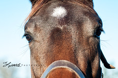 01 31 2015 Polo Horses Close up (gaprunella) Tags: morning horses horse field farm southcarolina pasture 2015 nikond90 plolo alittlephotography