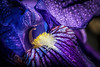 A blast of purple (Solomulala | mostly weekends ;-( !) Tags: iris flower color macro rain purple mm tamron 90 2014 solomulala murielcdejong