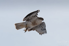 Ferruginous Hawk takes off