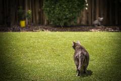 checking for post cyclone damage (Jackie888) Tags: grass weather cat kitty australia queensland billy mygarden mybackyard cyclone