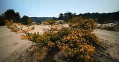 sand dunes... (MarcelXYZ) Tags: tree pine canon landscape sand scenery dunes drohiczyn cesarz marcelxyz