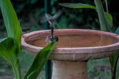 _MG_7742 (rojam1000) Tags: superb fairy variegated wren