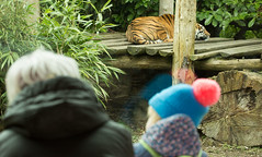 Watching the Tigers (Debshaynes) Tags: zoo watching tigers visitors chesterzoo